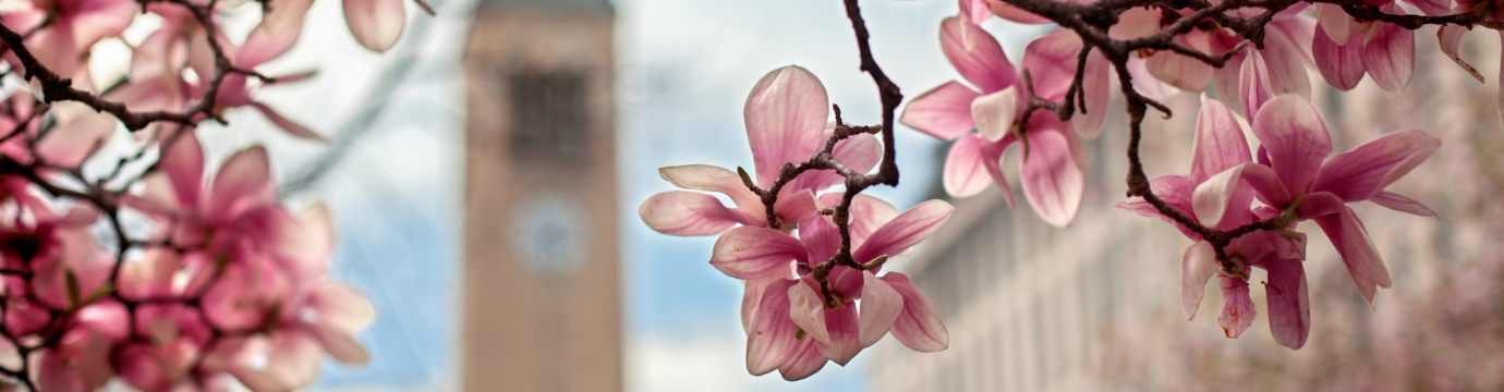 Closeup of a tree branch blooming with red flowers, and an out of focus McGraw clock tower in the background.
